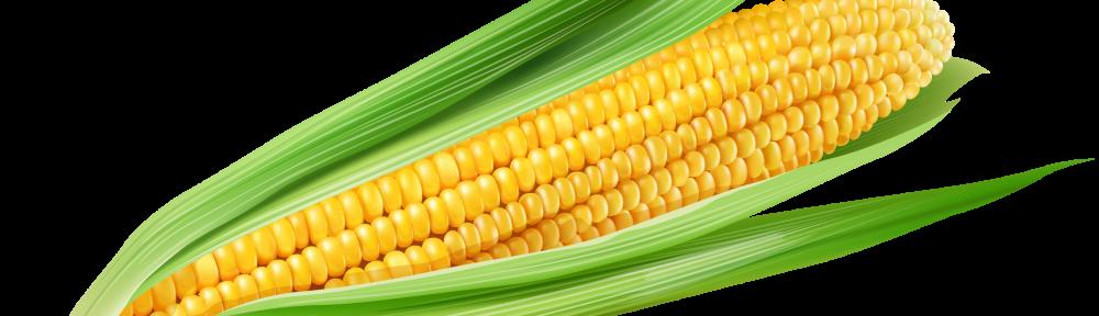 Yellow corn clipart
