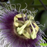 Close up view of a passion flower