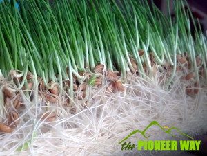 Sprouted wheat grass fodder